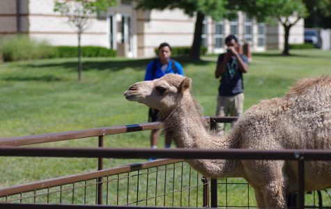 Photo by Romane Donadini | A Dromedary camel visited campus as part of the Wild Wednesday Petting Zoo. The event was the third portion of Welcome Back Week hosted by Campus Activities Board.