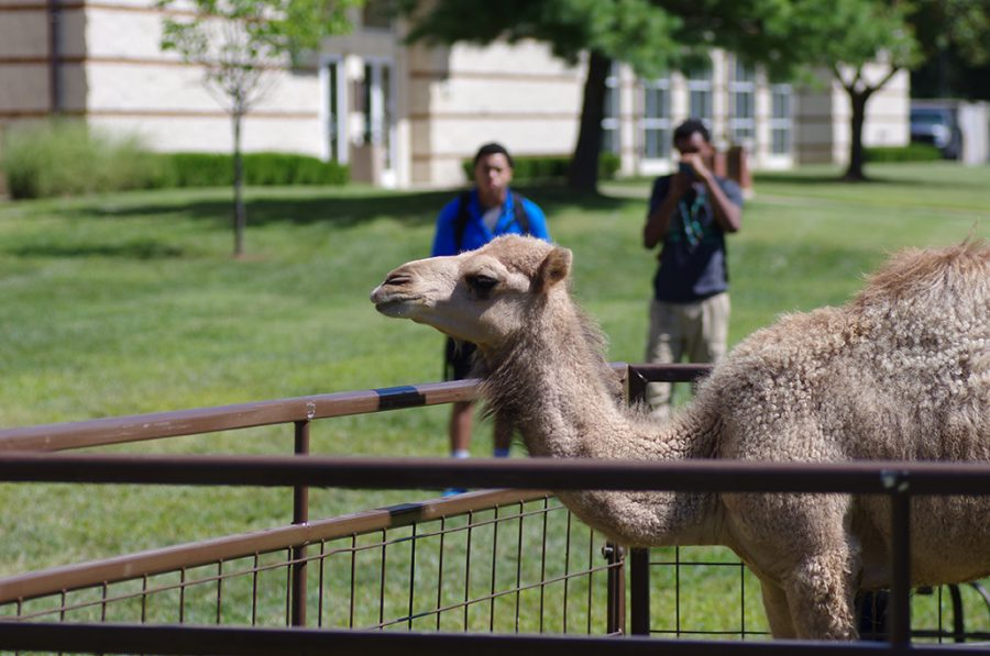 Photo+by+Romane+Donadini+%7C+A+Dromedary+camel+visited+campus+as+part+of+the+Wild+Wednesday+Petting+Zoo.+The+event+was+the+third+portion+of+Welcome+Back+Week+hosted+by+Campus+Activities+Board.