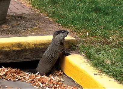 Photo by Viktoria Muench A groundhog investigates the area around Irwin Hall.