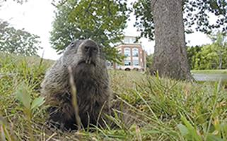 Screenshot from video by Phil Brahm This groundhog was spotted near Hunter Stadium.