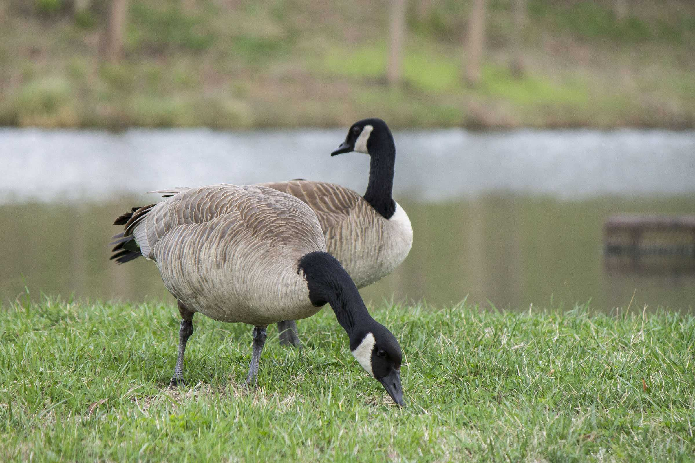Canada geese grazea on historic side of Lindenwood University's campus. <br /> Photo by Sandro Perrino