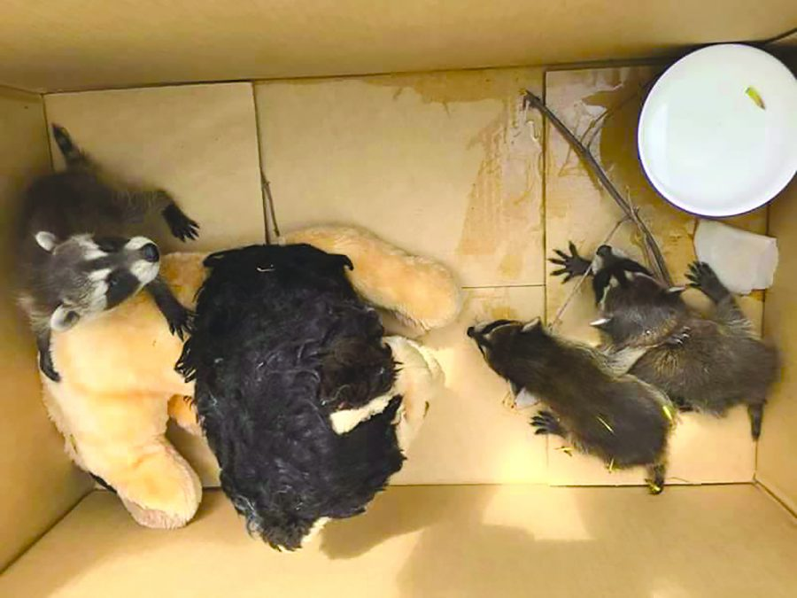 Orphaned raccoon cubs get new home in shelter