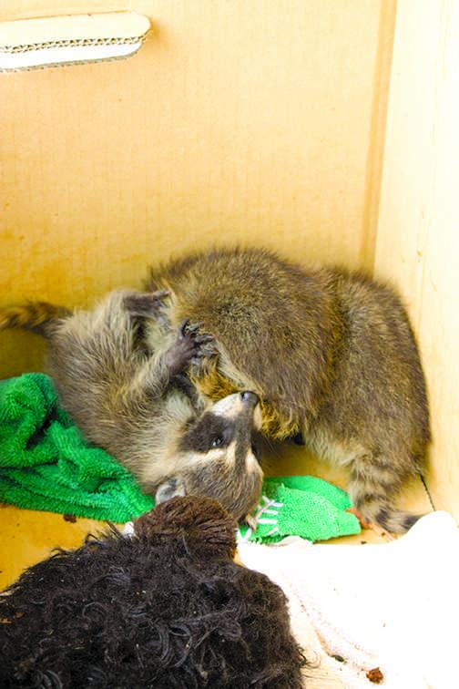 raccoonbaby