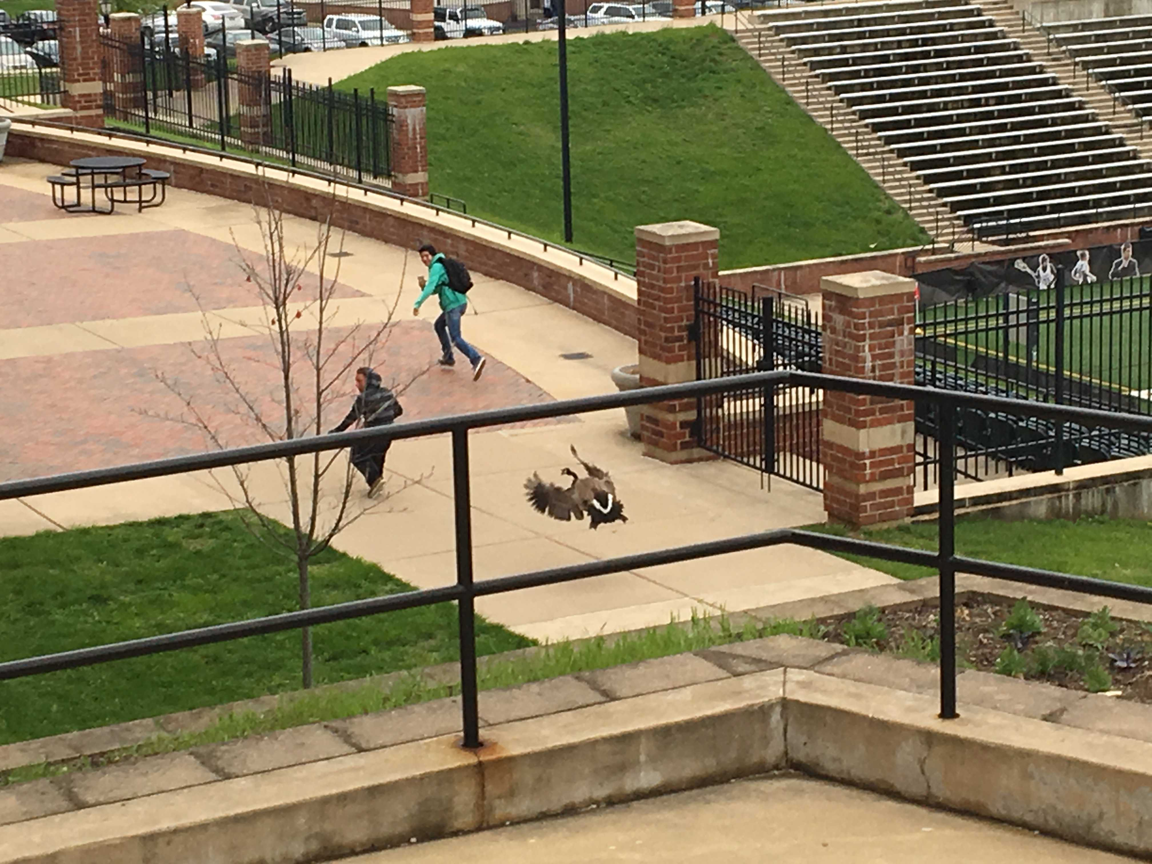 Students run away while being chased by a goose at the back of spellman.