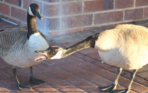 Geese in front of Spellmann act fierce to defend themselves against students who pass by the building early on Friday, March 24, 2017.  <br> Photo by Madi Nolte