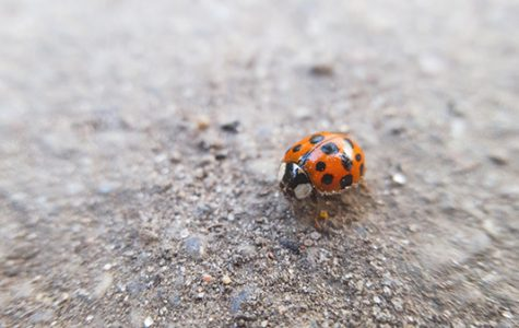 Spellmann and Butler Library host to ladybugs